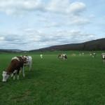 vaches_La pâture des vaches