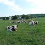 vaches_une journée d'été