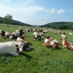 vaches_une journée d'été-2