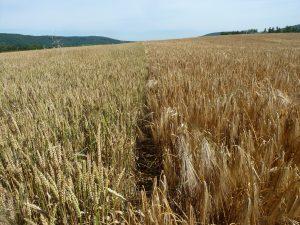Champs de blé et d'orge