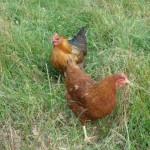 poules_Couenne&Puerta