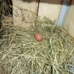 poules_P1030119