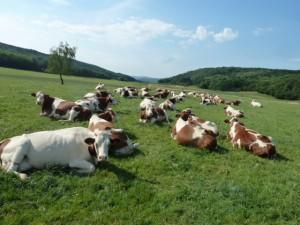 Ferme pédagogique : les vaches une journée d'été